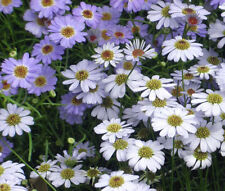 Brachycome Mixed Colors Brachycome Iberidifolia - 100 Seeds