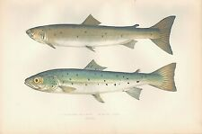 1878 ANTIQUE PRINT-COUCH BRITISH FISHES- SLENDER SALMON, BLUE POLE