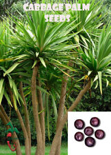 50 Cabbage Palm seeds, ( Sabal Riverside ) from Hand Picked Nursery