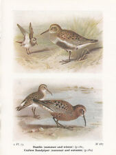BIRD PRINT 60 YEARS OLD ~ DUNLIN & CURLEW SANDPIPER ~ BIRDS OF THE BRITISH ISLES