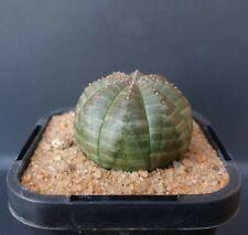 Euphorbia obesa in a 68mm pot succulent cactus plant