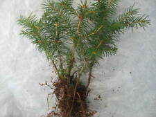 5 X Group ( forest ) trees for bonsai European spruce Picea abies winterhardy