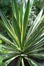Furcraea selloa var marginata plant 10cm (false agave, hemp, maguey, sword lily)