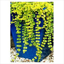 Creeping Jenny Pond Plant 3+cuttings- for you to Root