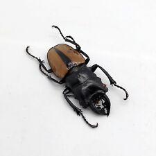 Large Odontolabis ludekingi Stag Beetle Insect Collector Specimen Art