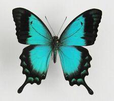 Papilio lorquinianus ssp. albertisi Männchen