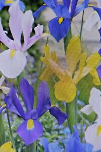 25,50, 100 Bulbi Fiori Iris Hollandica Mix, Pre-ordine, Data di Consegna Bea