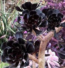 Aeonium arboreum 'Black Rose', 1 Cutting 3 - 4""
