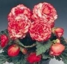 Begonia - Nonstop Rose Petitcoat F1 - 25 Seeds