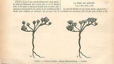 Rose de Jéricho Anastatica hierochuntica Plante GRAVURE ANTIQUE OLD PRINT 1877