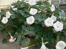 125 + White Datura Moon Flower Moonflower Seeds! Night Blooming Harvested 2017