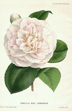 1883 CAMELLIA MAD. LEMONNIER Genuine Antique Botanical Print LINDEN