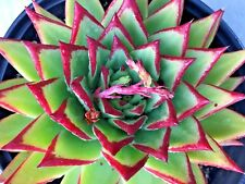 "Echeveria Agavoides Lipstick Red Edge in a 9"" Pot, 8"" Diameter Large Plant"