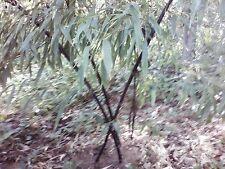 1 foot BLACK BAMBOO PLANT RHIZOME
