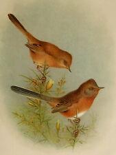 Art 1910 British Warblers Print Male Reed Warbler ~ GrÖnvold