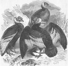 LONDON. The Oval. Condors, zoo, antique print, 1844