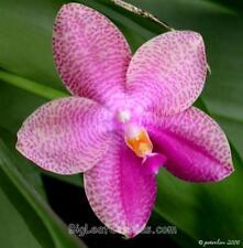 Phalaenopsis Gigabell F1703 gigantea x bellina fragrant phal hybrid seedling