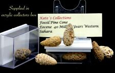 More details for small eocene fossil pine cone western  sahara  in collectors box
