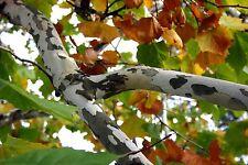 2 AMERICAN SYCAMORE TREES PLATANUS OCCIDENTALIS PLANE TREE BUTTONWOOD PLANTS