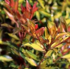 FIRECRACKER Metrosideros collina colourful variegated hedging plant 140mm pot