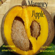~MAMMEY APPLE~ Mammea americana APHRODISIACAL Fruit Tree LIVE Potd 8-12+in PLANT
