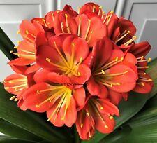4 Amaryllis Usa Clivia Seeds Variegated 1S X Hattori Celine (Japan)