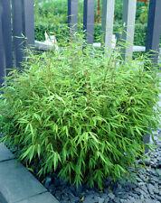 Fargesia Rufa - Bamboo in 9cm pot