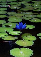 Liveseeds - Mini Blue Bonsai Lotus/ Water Lily Flower /5 Fresh Seeds