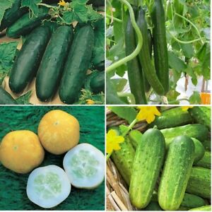 x3 Cucumber Plug Plants Choose From 6 Varieties (No Seeds) Vegetable - Ready Now