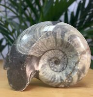 Large Ammonite Fossil Specimen Polished Fossilized Goniatite Display Morocco.