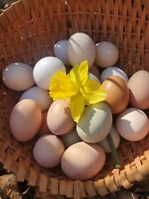 12+ Hatching Eggs Barnyard Rainbow Mix!