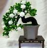 100 Pcs Seeds Gardenia Bonsai Cape Jasmine Garden Potted Amazing Flowers NEW X Z
