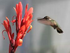 Queensland Arrowroot Canna Edulis Achira 20 Seeds Perennial NON GMO No Pesticide