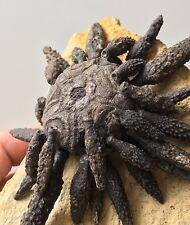 Magnifique Fossile Oursin reboulicidaris Museum Urchin Fossil SEEIGEL Fossilien