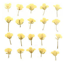 pressed flowers rapeseed flower 20pcs for art craft card making scrapbooking