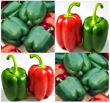 50+ Yolo Wonder Bell Pepper Seeds Organic Non-Gmo Heirloom Usa Little Seed Store
