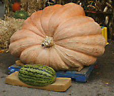 pumpkin, dills, DILL'S ATLANTIC GIANT, 15 seeds! GroCo#,