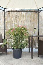 Nerium Oleander rosa Gesamthöhe ca. 80 - 120 cm Freiland von spanischer Plantage