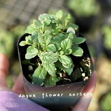 Pineapple mint seeds herb plant heat resistant