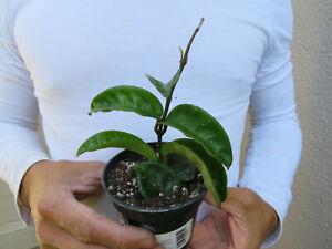 Hoya CAUDATA SUMATRA piccoli BARBATELLA Franca//vegetali 6-8CM PENTOLA Pianta Casa 1-2 Foglia