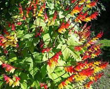 JUNGLE QUEEN - Mina Lobata - 35 seeds - Climbing flower