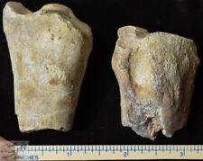 Hyracodon Partial Radius, Fossil Foreleg, Early Rhinoceros, Badlands, Sd, R846
