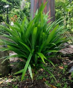 Varied Sizes Pandan Pandanus Amaryllifolius Tropical Plant Tree Seedling HAWAII