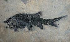 Perm  Elonichthys eupterygius  Elonichthydea  Schmelzschupper  Odernheim  R858