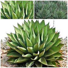 50 semi di Agave shawii , succulente,seed succulents