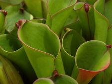Heliamphora nutans   Sterile Tissue Culture Flask   Carnivorous plants