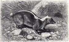 Malayan Badger 1894 Skunk - Mammal - Friedrich Specht Victorian Engraving