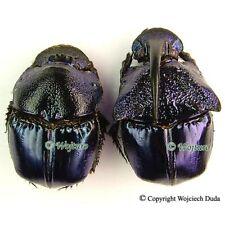Phanaeus quadridens - pair, nice