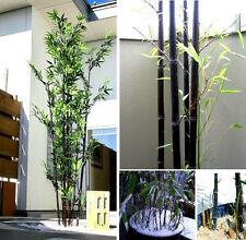 winterharter Schwarzer Riesenbambus: Ein Bambus der viele Ableger bildet / Samen