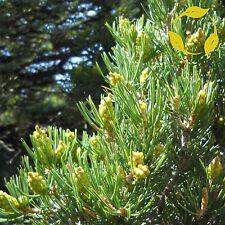 PINYON NUT PINE Pinus Edulis - 5 SEEDS